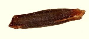 Coleophora kroneella