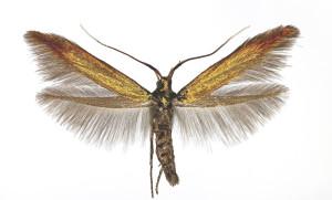 Croatia, South Velabit 6. 7. 2012, leg. Richter Ig., wingspan 14 mm