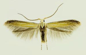 Portugal, NP Geres, Portela de Homem, 14. 6. 2014, leg. & coll. Laštuvka A., det. Richter Ig., wingspan mm