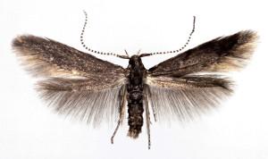 Hungary, Budapest Csillebére, 29. 5. 1978 ex Cornus sanguinea, leg. Szücs, coll TTMB, wingspan 10 mm
