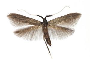 Hungaria, Pilis hegys Tahi, 6. 6. 1974, ex Pulmonaria molis, leg. Szücs, coll. TTMB, wingspan 12,5 mm