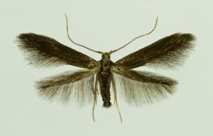 Slovakia, Malá Čausa, 8. 5. 2014, ex Prunus spinosa, leg., cult., det. & coll. Richter Ig., wingspan 13 mm