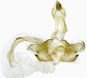 Slovakia, Prosiecka dolina, 8. 7. 2014, ex Salvia verticiliata, leg., cult., det. & coll. Richter Ignác, GP 21511 IgR