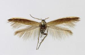 Hungary, Győrszentiván 1. 9. 2013, leg. Richter Ig., wingspan 10 mm
