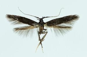 Hungary, Törökbálint, ex Prunella vulgaris, 19. 6. 1976, leg. Szőcs, wingspan 11 mm