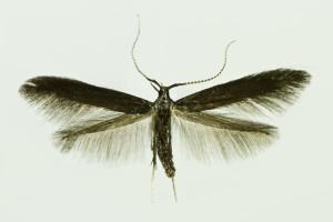 Slovakia, Prosiecka dolina, 8. 7. 2014, ex Salvia verticiliata, leg., cult., det. & coll. Richter Ig., wingspan 13 mm
