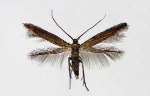 Slovakia Tvrdošovce 21. 6. 2013, leg. Richter Ig., wingspan 10 mm