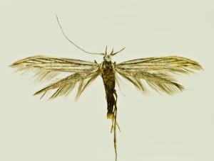 Russia, South Ural, Moskovo, 15. - 18. 7. 2011, leg. & coll. Šumpich, det. Budashkin, wingspan 17 mm