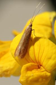 Slovakia, Malé Kršteňany, 15. 6. 2013, ex larvae, Quercus pubescens, wingspan 12 mm, leg. Richter Ig.