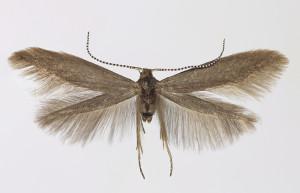 Hungaria, Bélmegyér, 8. 5. 2013, leg. Richter Ig., wingspan 15 mm
