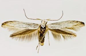 Spain, León, Torrestio 21. 6. 2017, leg. & coll. Laštuvka A., det. Richter Ig., wingspan 21 mm