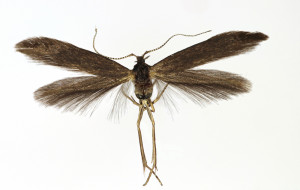 wingspan 13, 5 mm