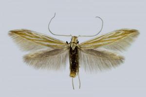Slovakia, Slovenský Raj, Smižianska Maša, 5.6.2016, ex l., Aster amelloides, leg., cult., det. & coll. Endel, wingspan 13 mm