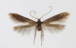 Slovakia Malé Kršteňany, Veľký vrch ex larvae Crataegus, leg. & cult. Richter Ig., wingspan 11 mm