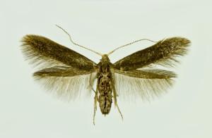Slovakia, Tvrdošovce, 11. 6. 2014, ex Crataegus, leg., cult., det. & coll. Richter Ig., wingspan 13 mm