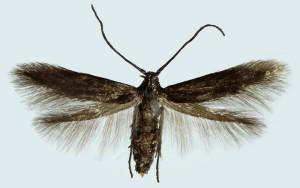 Slovakia, Prievidza, 3. 5. 2012, ex larvae - Spiraea sp., leg., cult., det. & coll. Richter Ig., wingspan 10 mm