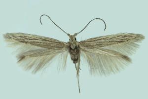 Morocco, Gu, wingspan 12 mm