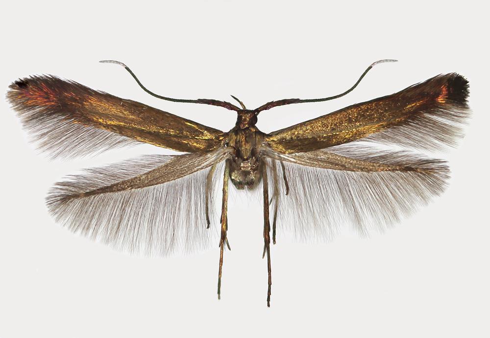 Coleophora frischella (Linnaeaus, 1758) | Coleophoridae