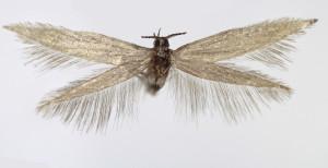 Slovakia, Hnilec, 25. 7. 2013 , leg. & coll. Endel, wingspan 12 mm