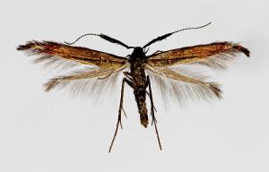 Bulgaria, Malak Kozhuch, 6. 5. 2011, leg. Tokár, coll. Richter Ig., wingspan 11 mm - female