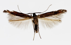 Sardegna, Domusnóvas, 24. 5. 2012, leg. Tokár, coll. Richter Ig., wingspan 13 mm - male