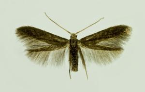 Slovakia, Tvrdošovce, 15. 6. 2014, ex Crataegus, leg., cult., det. & coll. Richter Ig., wingspan 11 mm