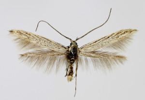 Macedonia, Prilep, 25. 5. 2013, leg, det. & coll. Richter Ig., wingspan 14 mm