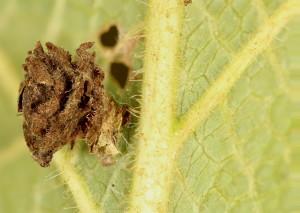 Coleophora virgatella