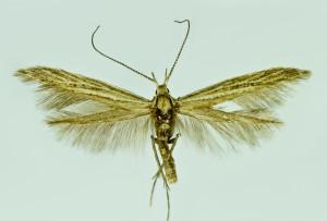 Spain, Grenada, Sierra Guillimona, 1900 m, 16. 7. 1993, leg. & coll. Laštuvka, det. Richter Ig., wingspan 16 mm