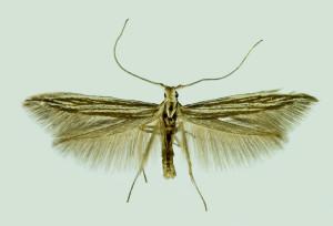 Spain, León, La Mata de Curueno, 20. 6. 2014, leg. & coll. Laštuvka Al., det. Richter Ig., wingspan 12 mm