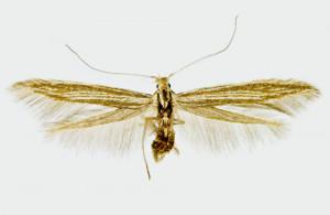 Spain - León, Parámo del Sil, 22. 6. 2016, leg., & coll. Lastuvka A., det. Richter Ig., wingspan 15 mm