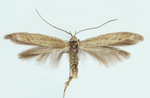 Suomi, EK: Vironlahti, 671 : 53, ex l. 1992, leg. & det. Junnilainen, coll. Tokár, wingspan 16 mm - male