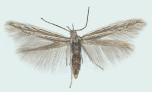 Latvia, Rig., Garkalne, 15. 6. 2001, leg. & det. Savenkov, coll. Tokár, wingspan 10 mm