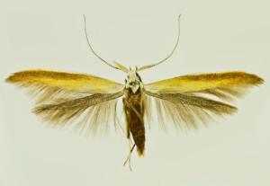 Russia, South Ural, Satka, 17. 6. 2009, leg. & coll. Šumpich, det. Richter Ig., wingspan 19 mm