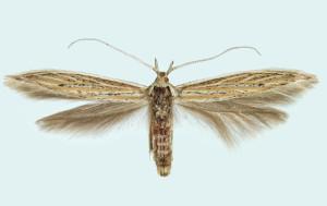Suomi, A : Kökar, 666 : 15, ex l., 1998, leg. & det. Junnilainen, coll. Tokár, wingspan 16 mm - female