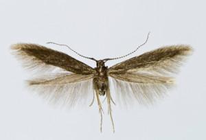 Slovakia, Spišská Nová Ves, 26. 5. 2013, leg. & coll. Endel, det. Tokár, wingspan 12 mm