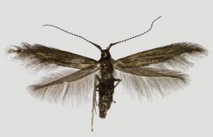 Slovakia, Suchá Hora, 4. 5. 2018, ex l. Vaccinium myrtillus, leg., cult., det. & coll. Richter Ig., wingspan 11 mm