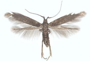 Suomi, A: Lemland Herrö, ex l., 1996, leg. & det. Junnilainen, coll. Tokár, wingspan 11 mm