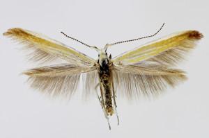 Macedonia, Raec, 21. 5. 2013, leg. & coll. Richter Ih, wingspan