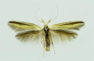 Hungary, Bélmegyer, 4. 6. 2014, ex l., leg. Tokár, cult, det. & coll. Richter Ig., wingspan 18 mm