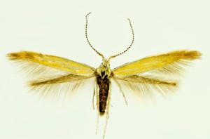 Slovakia, Kamenica nad Hronom, 11. 5. 1991, leg. & coll. Laštuvka A., det. Richter Ig., wingspan 12 mm - male