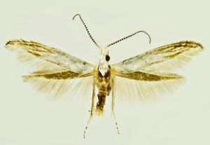 Spain, Montalban, 1050m, 4. 7. 1991, leg. & coll. Laštuvka A., det. Richter Ig., wingspan 14 mm