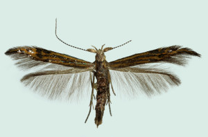 German, S.-H., Westerhever, 5. 7. 2007, ex l., leg. & cult Ricket, ex coll. Roweck, coll. Richter Ig., wingspan 11 mm