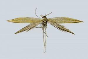 Greeca, Peloponesos, Diakoffó, 70 m, 11. 6. 2008, leg. & coll. Skyva, det. G. Baldizzone, wingspan 14 mm