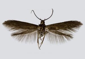 Spain, Huesca, Chia, 20. 6. 2018, leg. & coll. A. Laštuvka, det. Richter Ig., wingspan 11 mm