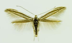 Hungary, Bélmegyer, 9. - 10. 5. 2014, leg., det. & coll. Richter Ig., wingspan 12 mm