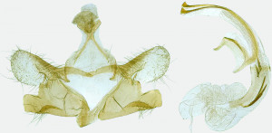 Spain, Aldehuelva, Decalatanazor, 19. 6. 2018, leg. & coll. A. Laštuvka, det. Richter Ig., GP 28334 IgR