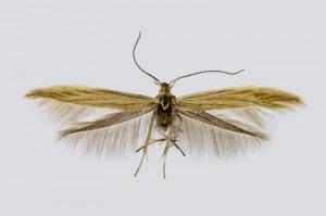 Spain, Aldehuelva, Decalatanazor, 19. 6. 2018, leg. & coll. A. Laštuvka, det. Richter Ig., wingspan 14 mm