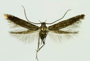 Macedónia, Gopceli, 31. 5. 2014, leg., det. & coll. Richter Ig., wingspan 9 mm