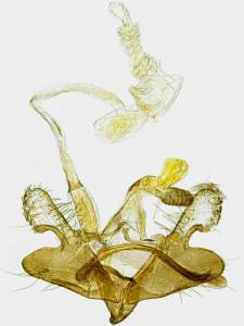 Macedónia, Galičica, 12. 8. 2014, ex Artemisia alba, leg., cult., det. & coll. Richter Ig., GP 21503 IgR